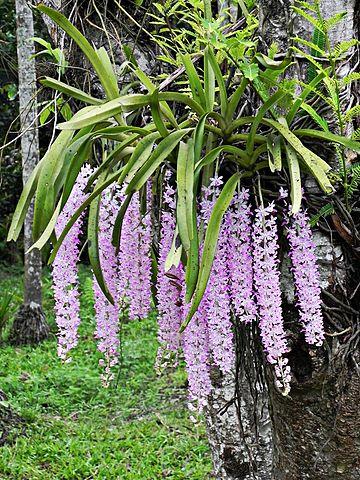 File Kopou Phool State Flower Of Assam Jpg Wikimedia
