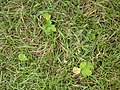 Korina 2010-08-25 Heracleum mantegazzianum 2.jpg