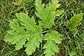 Korina 2010-08-25 Heracleum mantegazzianum 3.jpg