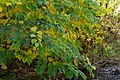 Korina 2013-10-19 Fallopia japonica 5.jpg
