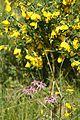 Kuckuckslichtnelke am Ginsterbusch.jpg