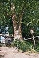 Lípa v obci Štěpánovice u Klatov.jpg