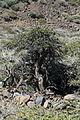 La Palma - Garafía - Carretera Acceso Observatorios + Adenocarpus viscosus 02 ies.jpg