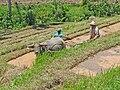 Labour d'une rizière.jpg