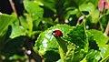 Lady Bug (15202625585).jpg