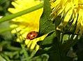 Ladybird (484219903).jpg