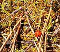 Ladybug (Coccinellidae) - Flickr - brewbooks.jpg