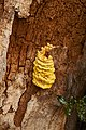 Laetiporus sulphureus (29035528693).jpg
