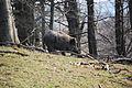 Lainzer Tiergarten Wildschweine 06.jpg