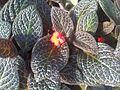 Lamiales - Episcia cupreata 2.jpg