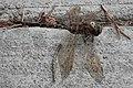 Lance-tipped Darner (Aeshna constricta) - Saskatoon, Saskatchewan 01.jpg
