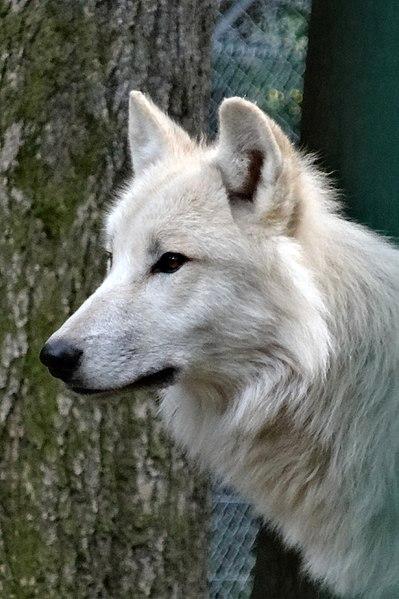File:Landschaftsschutzgebiet Nördlicher Osterwald und Umgebung - Wisentgehege Springe - Wolf (2).jpg