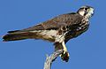 Lanner falcon, Falco biarmicus, at Kgalagadi Transfrontier Park, Northern Cape, South Africa (33767243473).jpg