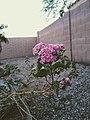 Lantana camara flowers 2.jpg