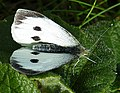 Large White Butterfly (Pieris brassicae) - geograph.org.uk - 1460156.jpg