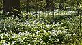 Large White Trilliums (Trillium grandiflorum) - Guelph, Ontario 01.jpg