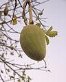 Large fruit in Gambia.jpg