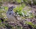 Lark Sparrow (34177460365).jpg