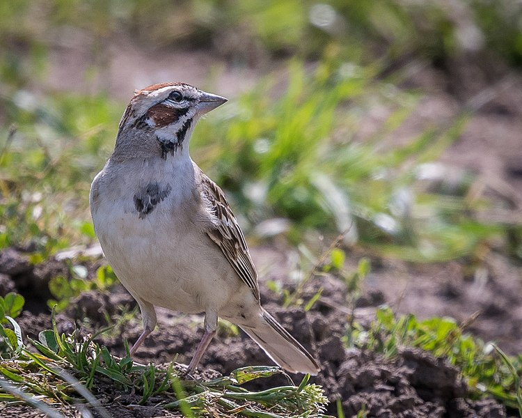 File:Lark Sparrow (34177460365).jpg
