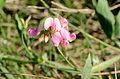Lathyrus latifolius2.jpg