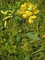 Lathyrus pratensis20140704 074.jpg