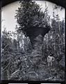 Lava Trees 'The Vase', Puna, photograph by Brother Bertram.jpg
