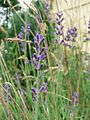 Lavendel flowers.jpg