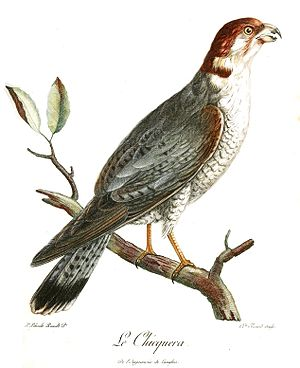 Red-necked falcon - Levaillant's specimen from Bengal (1799)