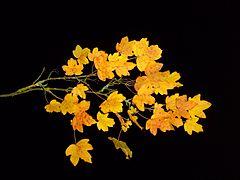 File:Leaf leaves branch maple autumn nightshot studio.jpg
