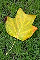 Leaf on grass with droplets 2014 10.jpg