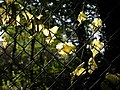 Leaves on a fence - geograph.org.uk - 990469.jpg