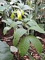 Lecythis sp. - Jardin Botanique de Lyon - DSC05409.JPG