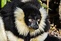 Lemur (25727783977).jpg