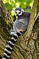 Lemur (39822777940).jpg