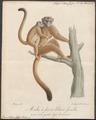 Lemur albifrons - 1818-1842 - Print - Iconographia Zoologica - Special Collections University of Amsterdam - UBA01 IZ19700059.tif
