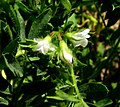 Lentil flowers1.JPG