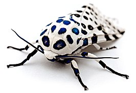 LeopardMothBlueSpots edit2.jpg