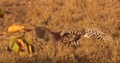 Leopard Kills Warthog in its Burrow Stealth at its Best! HD 2.png