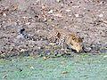 Leopard Quenching It's Thirt.jpg