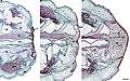 Leopard gecko clot to Blastema.jpg