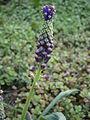 Leopoldia comosa bud.jpg