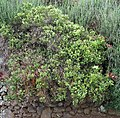 Leptecophylla tameiameiae (4832017071).jpg
