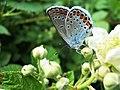 Leptir plavac, Spomen park Bubanj.jpg