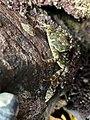 Leptograpsus variegatus between rocks.jpg