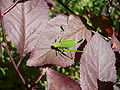 Leptophyes punctatissima 20050808 024.jpg