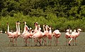 Lesser Flamingo Phoeniconaias minor Courtship Dance by Dr. Raju Kasambe DSCN0567 (16).jpg