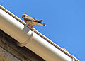 Lesser Kestrel (Falco naumanni) female on a roof (14065736214).jpg