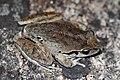 Lesueurs Tree Frog (Litoria lesueuri) (8397017299).jpg