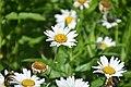 Leucanthemum × superbum Brightside in Jardin botanique de la Charme 02.jpg