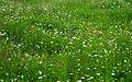 Leucanthemum vulgare, Trifolium pratense, Arrhenatheretum.jpg